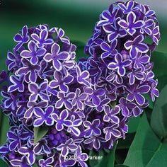 White-edged lilac