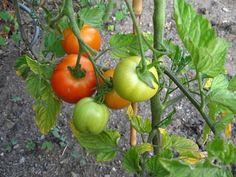 Dozrání zelených rajčat