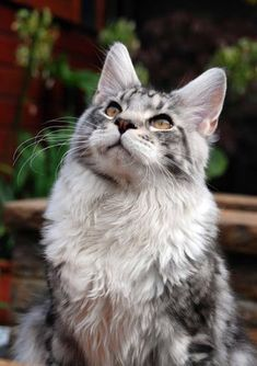 The short answer is yes, cats can see some colors, but not the same range that we can. Let's dig into how cats see and which colors their eyes can detect. I Love Cats, Crazy Cats, Cute Cats, Beautiful Cat Breeds, Beautiful Cats, Chat Male, Cat Photography, Maine Coon Cats, Warrior Cats