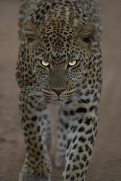 Leopard stunning!