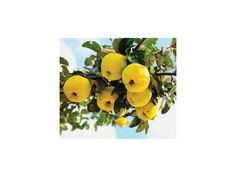 2,35 € Flowering Quince Seeds (Chaenomeles Japonica) Price for Package of 5 seeds. Japanese Flowering Quince is a small spiny tree, in the rose family, from mountain woodland in Japan and China. If left to grow naturally, it reaches 3 feet tall.Chaenomeles Japonica are much beloved for bonsai because of their tiny, lovely flowers, and in spite of their prickly thorns.