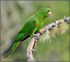 periquitão maracanã_psittacara leucophthalmus Brazilian Birds