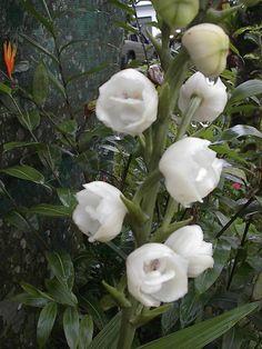 Flor del Espíritu Santo. Flor Nacional de Panamá.
