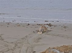 Northern Elephant Seal Weaning