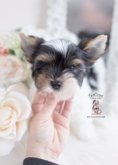 parti-yorkie-221-a Micro Teacup Yorkie, Teacup Yorkie For Sale, Yorkies For Sale, Yorkie Puppy For Sale, Toy Yorkie, Biewer Yorkie, Wire Fox Terrier Puppies, Toy Yorkshire Terrier, Airline Approved Pet Carrier