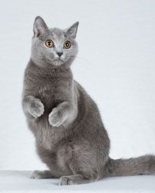 """""""Chartreux quickly become attached to one family and frequently follow their masters from room to room. Known for their doglike behavior, these cats can be taught to fetch a ball, and most will respond to their names. The Chartreux is a quiet breed, chirping rather than meowing at things it finds interesting. This intelligent cat is fascinated by television and likes to participate in telephone conversations by chewing on the cord."""""""