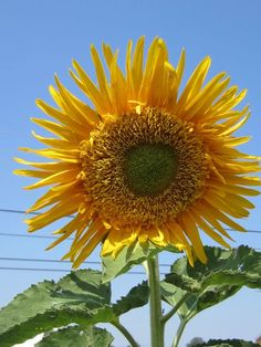A truly sunny sunflower.  Visit the Franks in Wilmore to buy a bunch of these beauties.