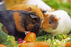 Sharing Guinea Pig Food, Cute Guinea Pigs, Guinea Pig Accessories, Guniea Pig, Baby Animals, Adorable Animals, Pocket Pet, Cute Piggies, Little Pets