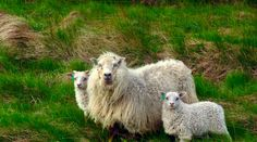 Icelandic Sheep    Article: Iceland tourism is soaring; up 20 percent in 2012