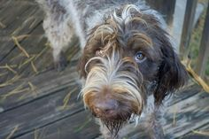 Hazel LeStrange..... Wire Haired Pointing Griffon.