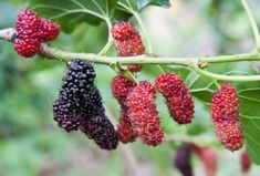 Researches call it as a ''super berry'', but the healing properties of these berries are well known to our ancestors without any scientific research. Diabetes, Mulberry Leaf, Wild Edibles, Reduce Cholesterol, Growing Herbs, Alternative Health, Natural Home Remedies, The Body Shop, Superfoods