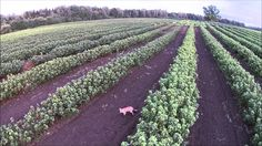 Funny Curious Fox Plays Hide & Seek with Drone in a Huge Blackcurrants F...