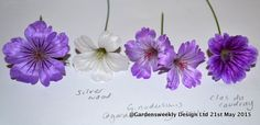 Grouping Geranium nodosums helps to identify them.the flowers have a beautiful sheen just like the leaf Hardy Geranium, Geraniums, Charity, Garden Design, Bloom, Place Card Holders, Flowers, Plants, Beautiful