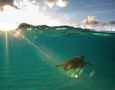turtle sea hawaii