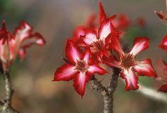 Impala Lily. Adenium.