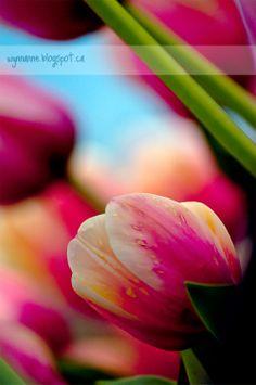 Breathtaking photo of tulips from Wynn Anne's Meanderings