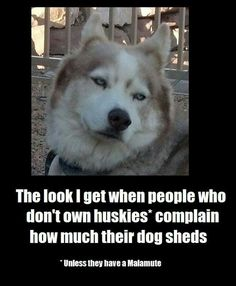 Shedding ~ FOR MOST OTHER BREEDS A LITTLE SHEDDING IS NOTHING COMPARED TO WHAT A HUSKY OR MALAMUTE CAN SHED BUT THEY'RE WORTH IT ~