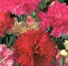 Dianthus double gaiety mix @10rb minat sms/wa 085777119992  Bunga Favorit di zaman dulu dengan bunganya yang seperti renda dan memiliki bau yang manis. tanaman yang mudah untuk tumbuh ini menghasilkan bunga bunga yang indah bunga dalam nuansa merah muda, merah dan putih. Tanaman ini cocok untuk dijadikan bunga potong karena bunganya yang harum, tahan lama dan sangat menarik. varietas ini cepat tumbuhnya dari biji hingga berbunga. Tanaman dapat tumbuh hinga 12-16 inci ( 1 inci = 2.5 cmi )…
