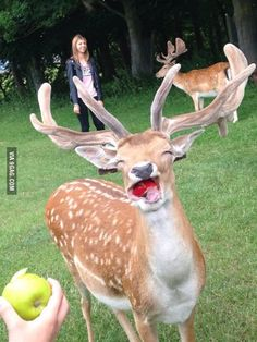 Deer eating an apple