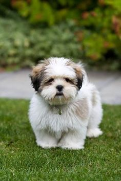 Top 5 Longest Living Dog Breeds Breed Lhasa Apso: Lhasa Apso is an ancient dog breed originated in Tibet.Lhasa Apsos have dense coats and are classified as non-sporting dog breed. Chien Shih Tzu, Shih Tzu Puppy, Shih Tzus, Cute Puppies, Cute Dogs, Dogs And Puppies, Doggies, Boxer Puppies, Boxer Mix