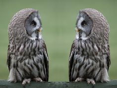 Mirror image - Great grey, gray owls Strix nebulosa, perched and staring facing each other against a clear background