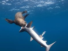Hambrienta foca se come cinco tiburones azules (vídeo y fotos) - Seal attack! Hungry creature eats five blue sharks in rare images of sea mammal turning the tables on predator of the deep Orcas, Leopard Shark, Shark Pictures, Fishing Pictures, Great White Shark, Shark Week, Ocean Life, Marine Life, Sea Creatures