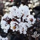 Black Diamond Plants, Bulbs & Seeds 4 in. x 4 in. x 10 in. Crape Myrtle Pure White Container CRMBPWBP