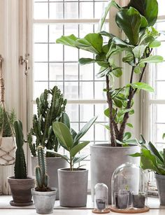 Cacti and succulents are the perfect indoor plant – they look amazing and require hardly any upkeep. Take a look at some of our faves… Cactus are super easy to maintain, requiring little to no watering. They do need lots of sunshine though, so set them in a sunny spot! These quirky little guys add interest …
