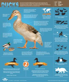 Sure we know Donald and Daffy, but there's much more to ducks than we've seen in cartoons. In reality, ducks—members of the Anatidae family—are extraordinarily complex creatures, the product of millions of years of evolutionary adaptation. Here are some facts and stats about ducks.