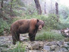 Remote Camera Photo of the Week: Large Black Bear in Napa County!     Every week, we post a photo from our remote camera research database from the Bay Area Puma Project and from photos shared with us.    To submit a photo for Photo of the Week, email info@felidaefund.org! If your photo is chosen, we will send you a Bay Area Puma Project water bottle