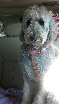 #silver #goldendoodle #dogs #cute Goldendoodle Grooming, Mini Goldendoodle, Love Pet, Puppy Love, Vegetable Shop, Dog Grooming Tips, Doodle Dog, Majestic Animals, Cute Doodles