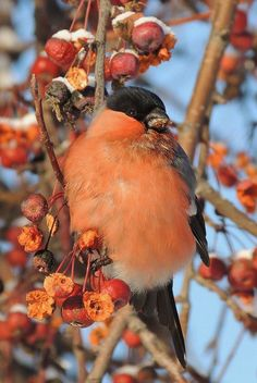 Orange Bullfinch (messy eater!). A species of finch, this bullfinch (Pyrrhula aurantiaca) is found in India and Pakistan; its natural habitat is temperate forests.