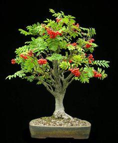 ~ Sorbus aucuparia / mountain ash, rowan ~  Bonsai ~