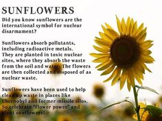Healthy Homesteading I had no idea sunflowers were SUPER flowers. I love growing sunflower for their beauty, for the seeds, for the bees and now for their pollution absorption. This image is from From Scratch Magazine, a free online publication >> http://www.fromscratchmag.com/