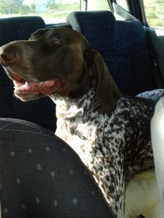 driving is a pleasure German Shorthaired Pointer, This Is Us, Dogs, Animals, Animales, Animaux, Pet Dogs, Doggies, Animal