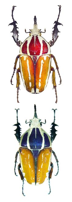 Mecynorrhina ugandensis, various forms.