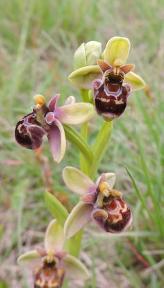 Ibrido tra Ophrys bombyliflora x Ophrys apifera - M.Conero - Marche