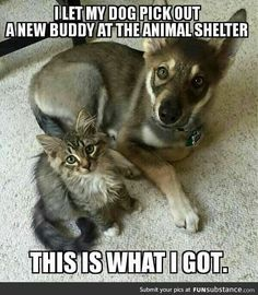 Husky picked out kitten to take home home from Shelter. Raven the husky selected little Woodhouse the kitten as his best friend from a shelter Cute Funny Animals, Funny Animal Pictures, Funny Dogs, Cute Cats, Animals And Pets, Baby Animals, Cat Club, Tier Fotos, I Love Dogs