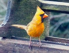 I've never seen a yellow (lutino) Northern Cardinal, but I hear they're becoming more common.