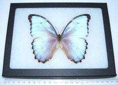REAL-ICE-BLUE-MORPHO-GODARTI-FRAMED-BUTTERFLY-INSECT