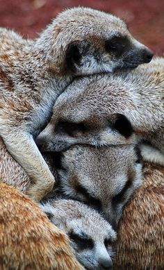 Meerkat Pile by Bas Von Uyen