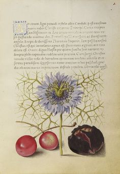 Love-in-a-Mist, Sweet Cherry, and Spanish Chestnut; Joris Hoefnagel (Flemish / Hungarian, 1542 - 1600), and Georg Bocskay (Hungarian, died 1575); Vienna, Austria; 1561 - 1562; illumination added 1591 - 1596; Watercolors, gold and silver paint, and ink on parchment.