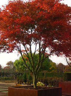 Japanse Esdoorn, Acer palmatum kopen vanaf €11,30 | Ten Hoven Boomkwekers Apeldoorn