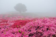 Would love to visit this #pink floral field in real life!