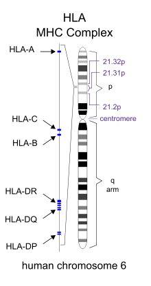 Histocompatibility - Wikipedia