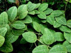 Hoya elliptica