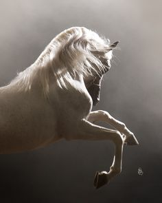 The Arabian Horse - Drinkers of the Wind Beautiful Arabian Horses, Arabian Beauty, All The Pretty Horses, Mundo Animal, White Horses, Horse Pictures, Horse Art, Horse Head, Equine Photography