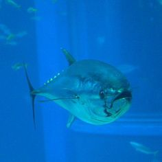Disastrous Decline in Bluefin Tuna Numbers