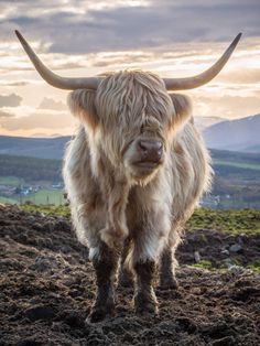 Its big its hairy and its Scottish. - Its big its hairy and its Scottish. Cute Baby Cow, Baby Cows, Cute Cows, Scottish Highland Cow, Highland Cattle, Baby Highland Cow, Farm Animals, Funny Animals, Cute Animals