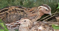 male an female coturnix quail